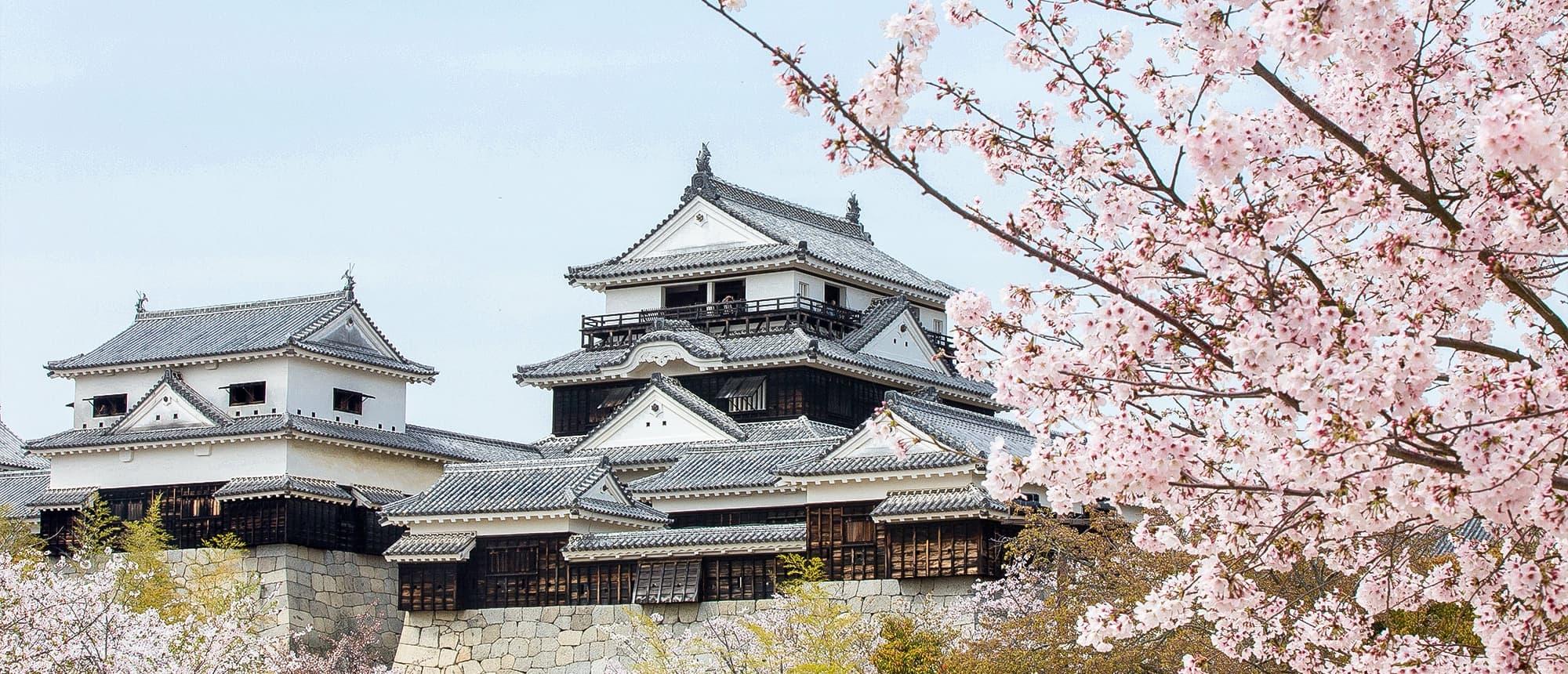 写真:満開の桜と松山城