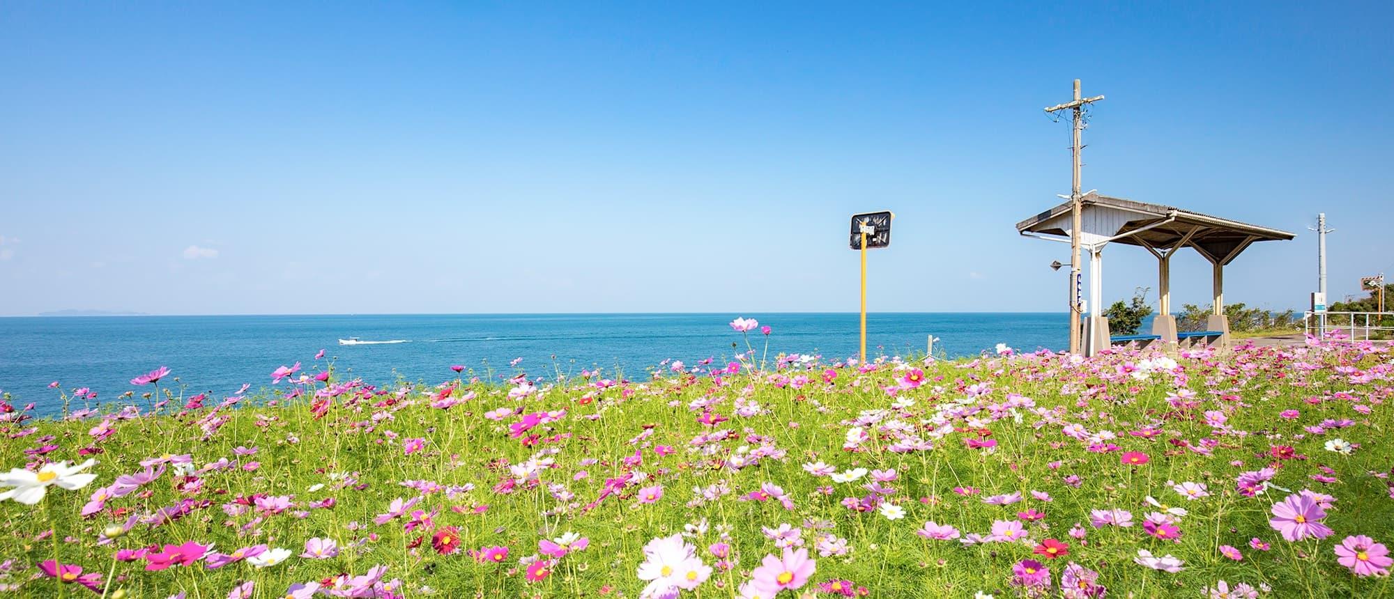 写真:コスモス畑と下灘駅
