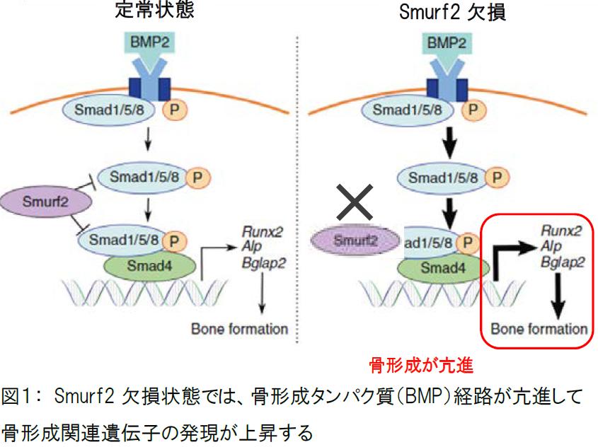 【プレスリリース】骨形成タンパク質の新たな制御機構を解明!